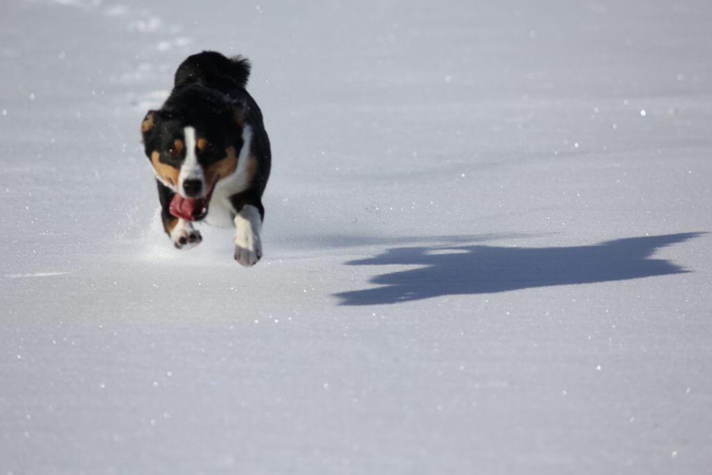 Flughund im Schnee