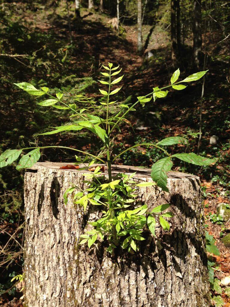 Im toten Stamm wächst neues Grün