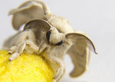 Frisch geschlüpfter Seidenspinner