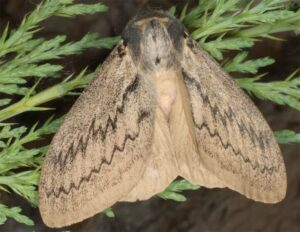 Pistazienspinner (Pachypasa otus)
